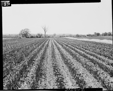 Tulip Farming in Kalamazoo County