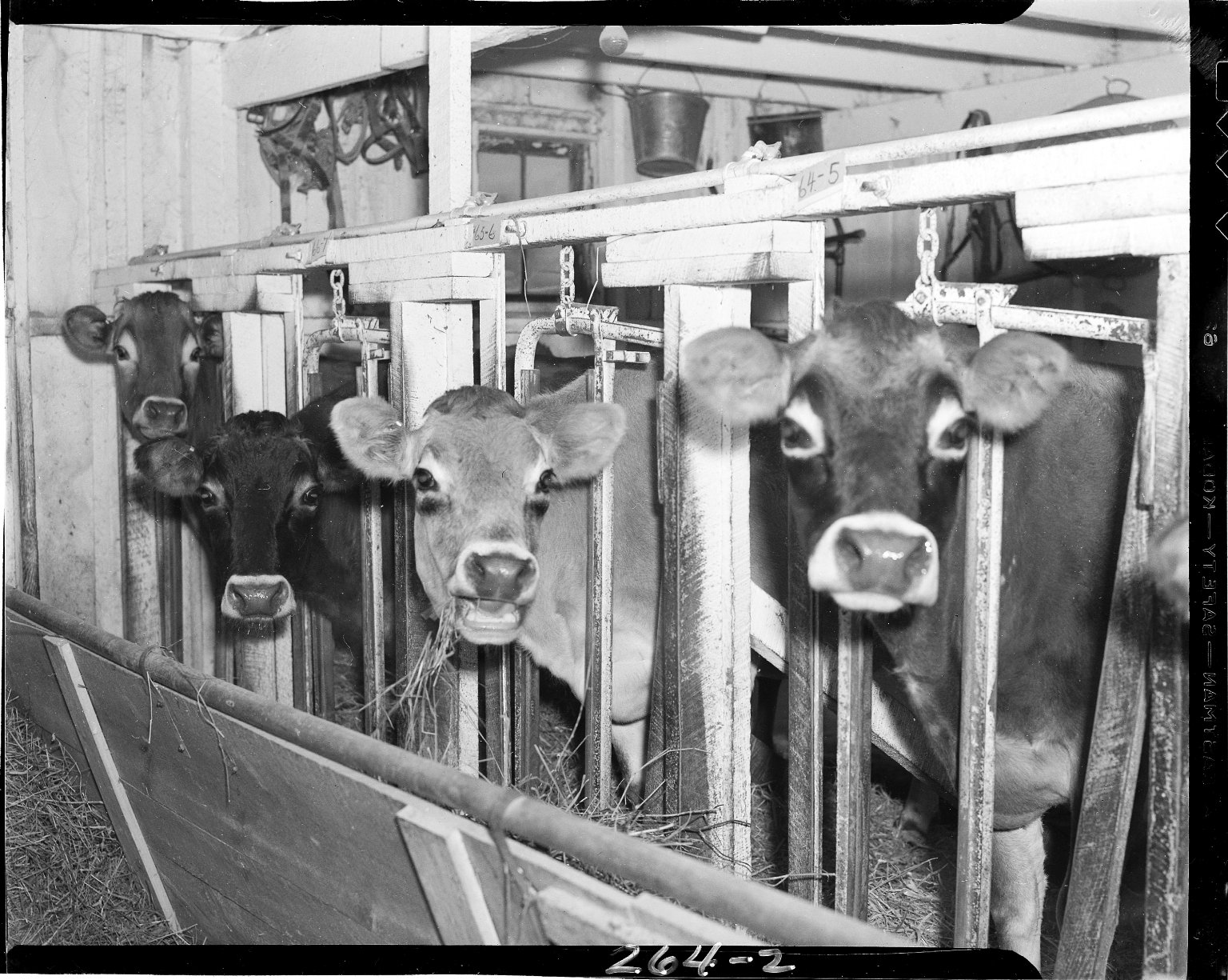 Cream Top Creamery, cows in a barn