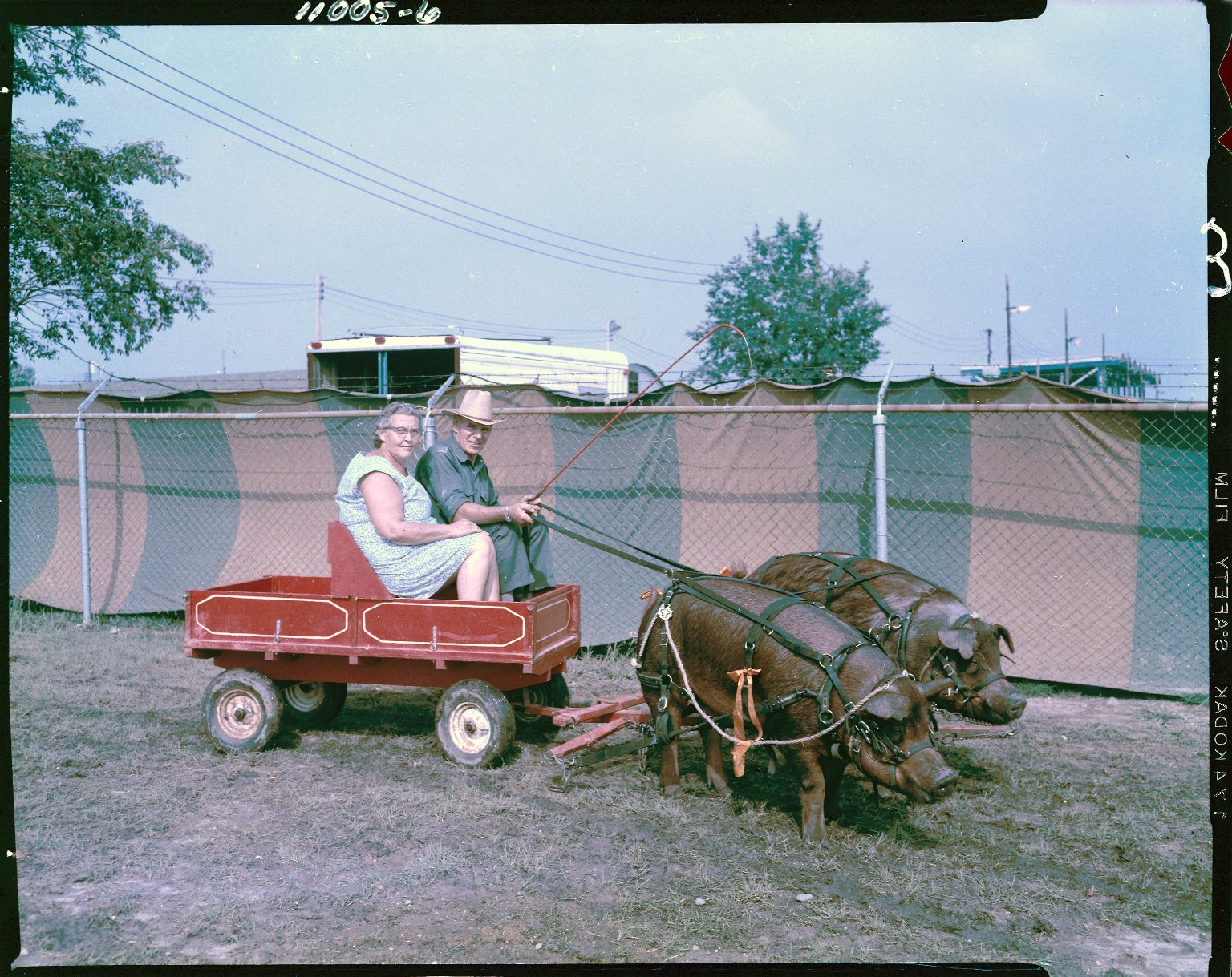 Man and woman in cart with team of hogs at Kalamazoo County Fair